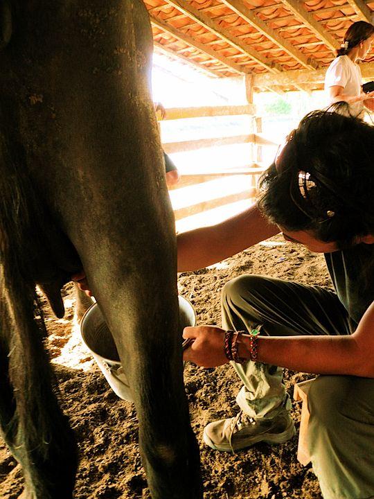 旅、EarthTribe、世界一周、ブログ、バックパッカー、トラベラー、画像、ブラジル、マラジョー島、アマゾン、動物、乳搾り