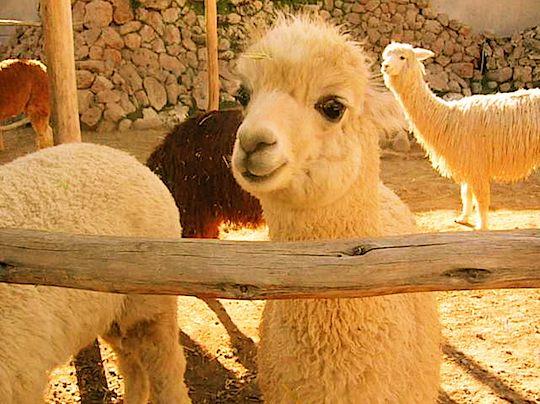 旅、村越慎司、EarthTribe、世界一周、ブログ、ペルー、アルパカ